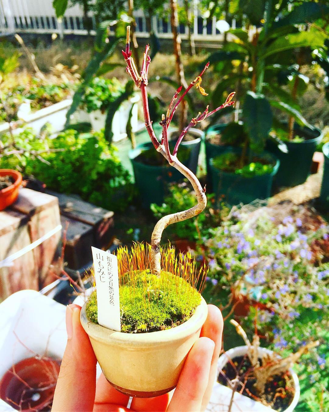 盆栽-植え替え前