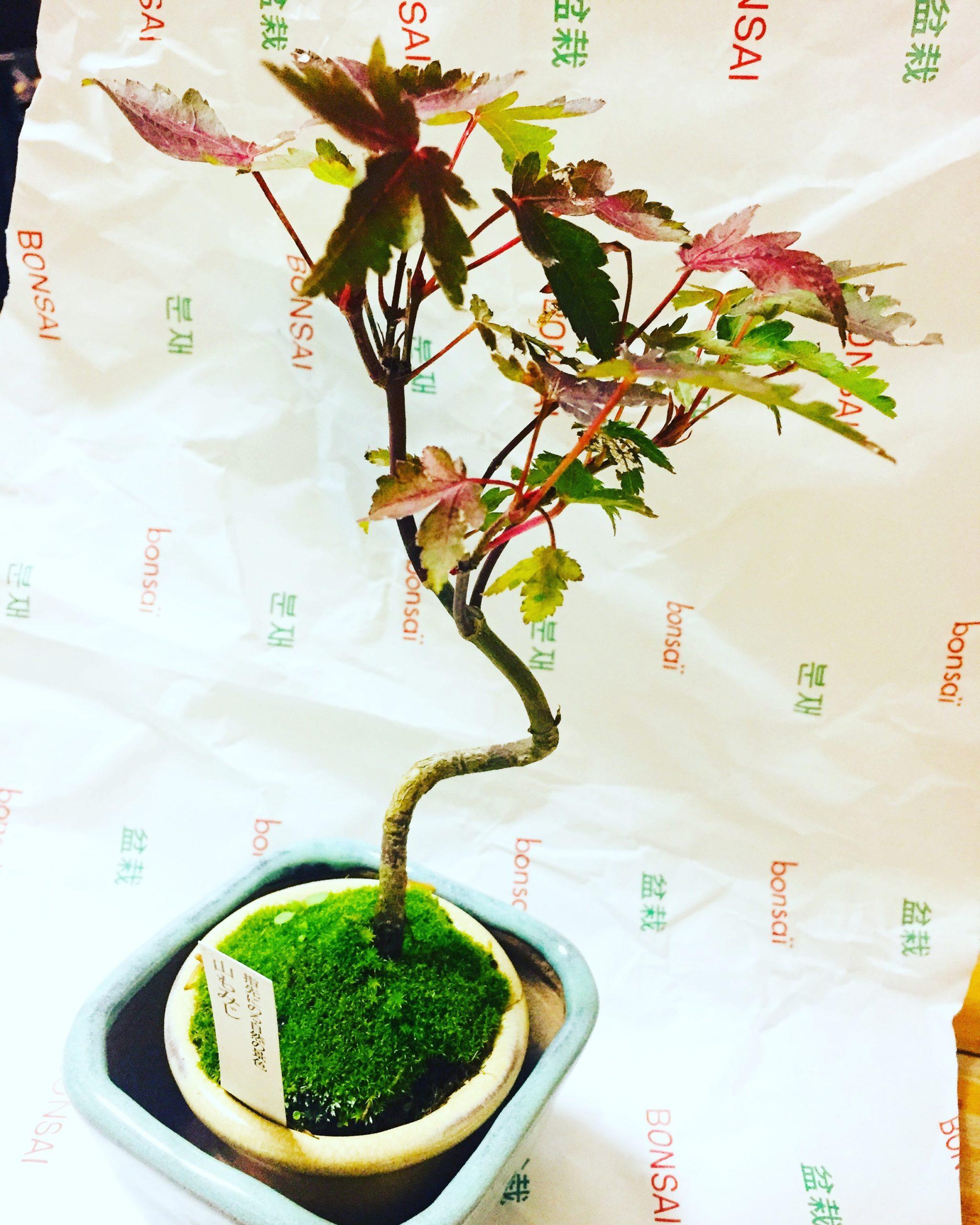 nanako-盆栽-20181102