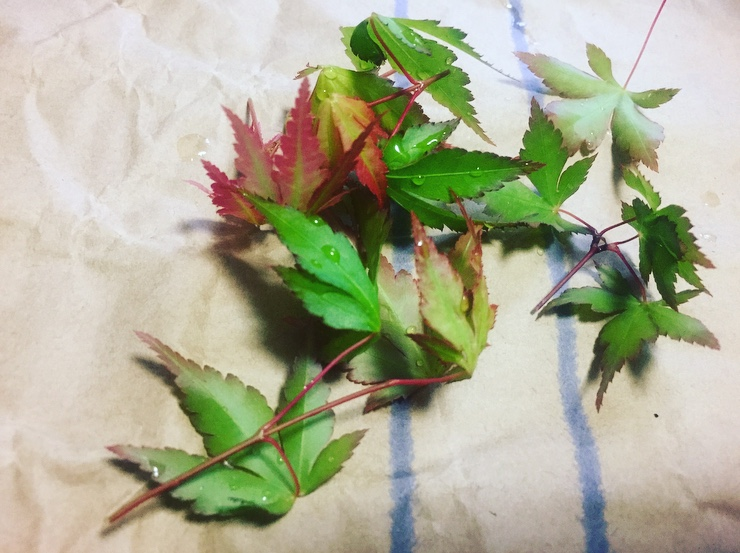 20200422-芽摘みした葉
