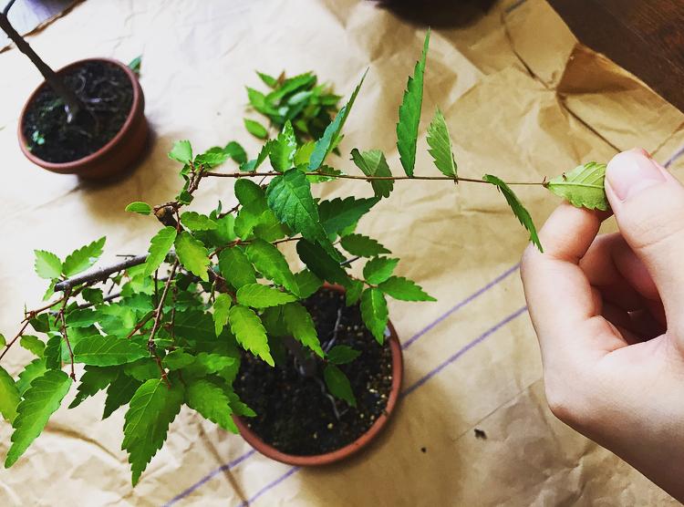 ケヤキ-長い枝