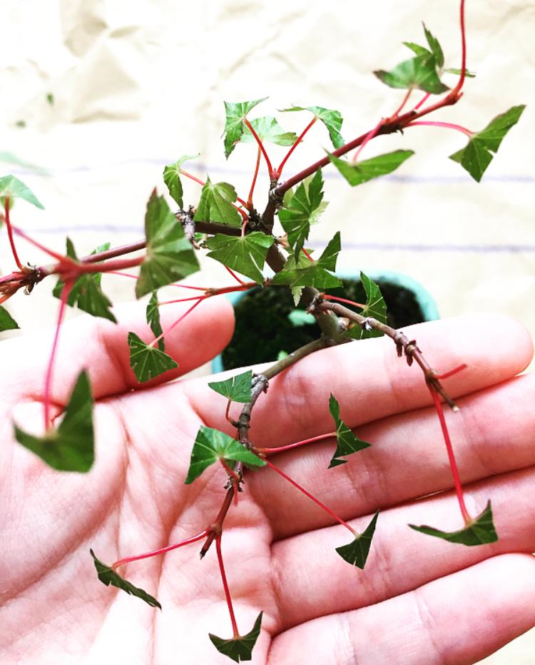 ヤマモミジの葉-葉刈り-20200606