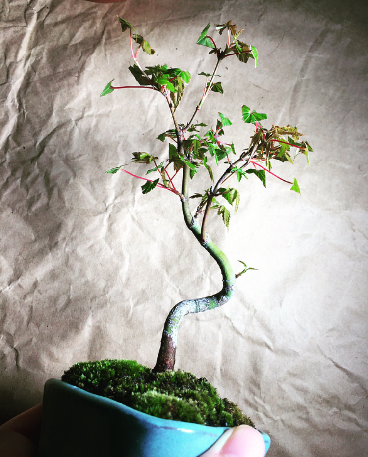 枝が増えてきた-20200621