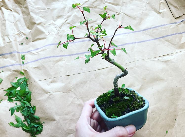 葉刈りした葉-ヤマモミジ-20200606