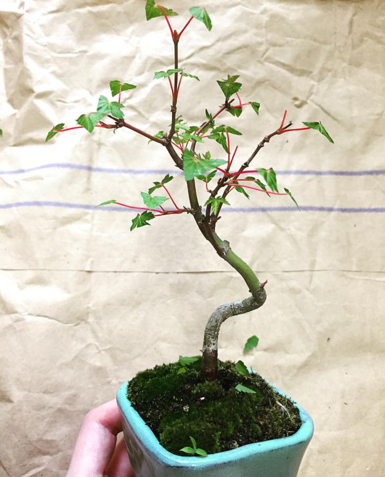 葉刈り-ヤマモミジ-20200606
