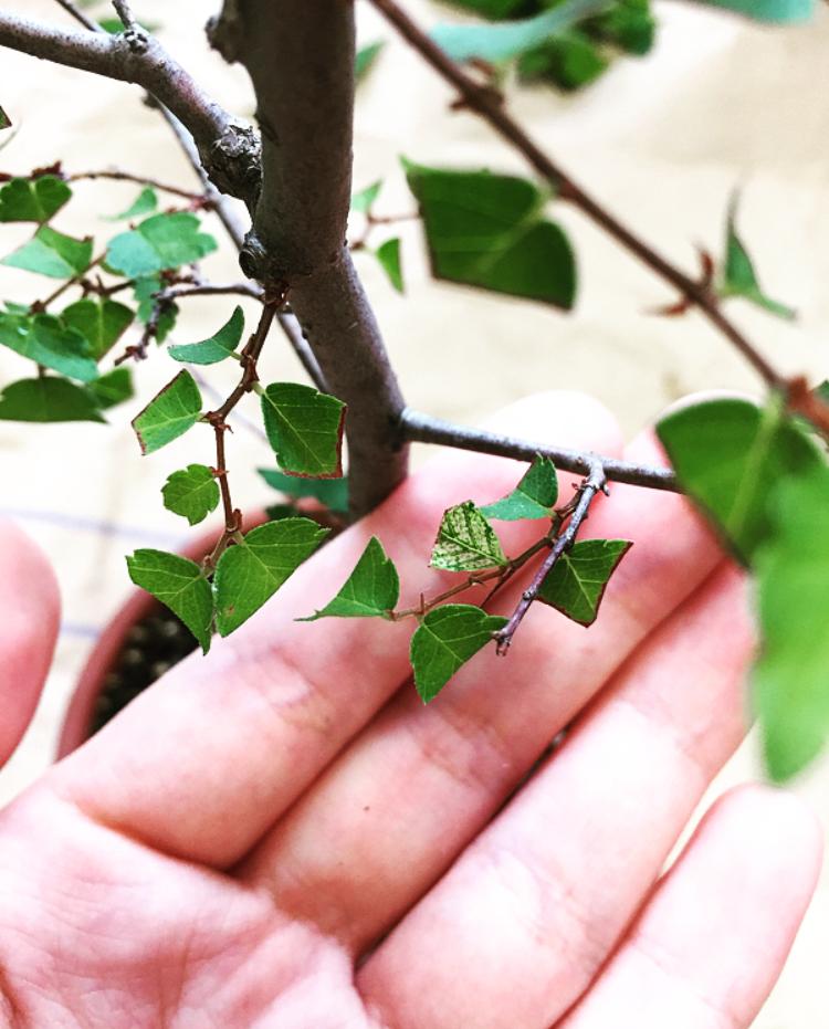 葉刈り-変色-ケヤキ