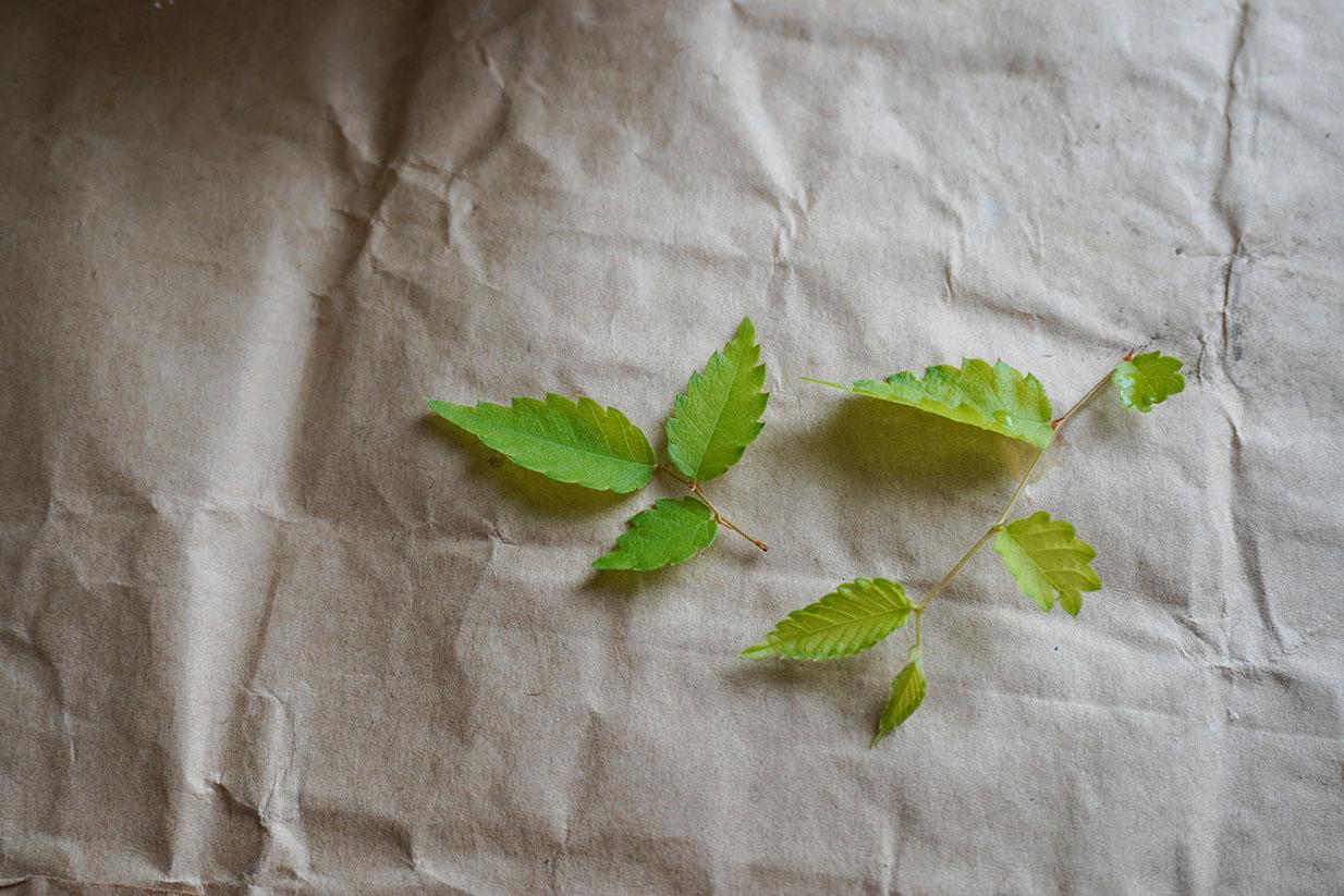 DSC00151-芽摘みの葉