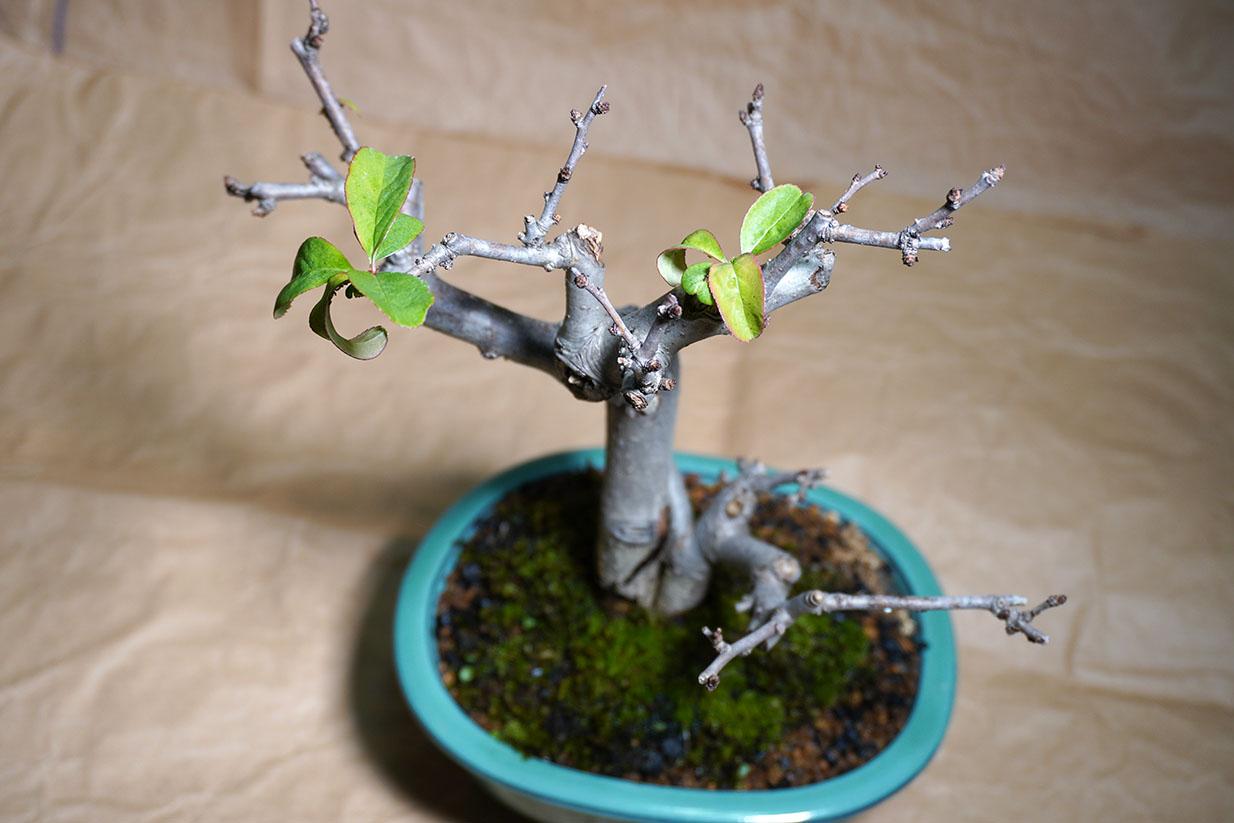DSC00472-ボケの葉