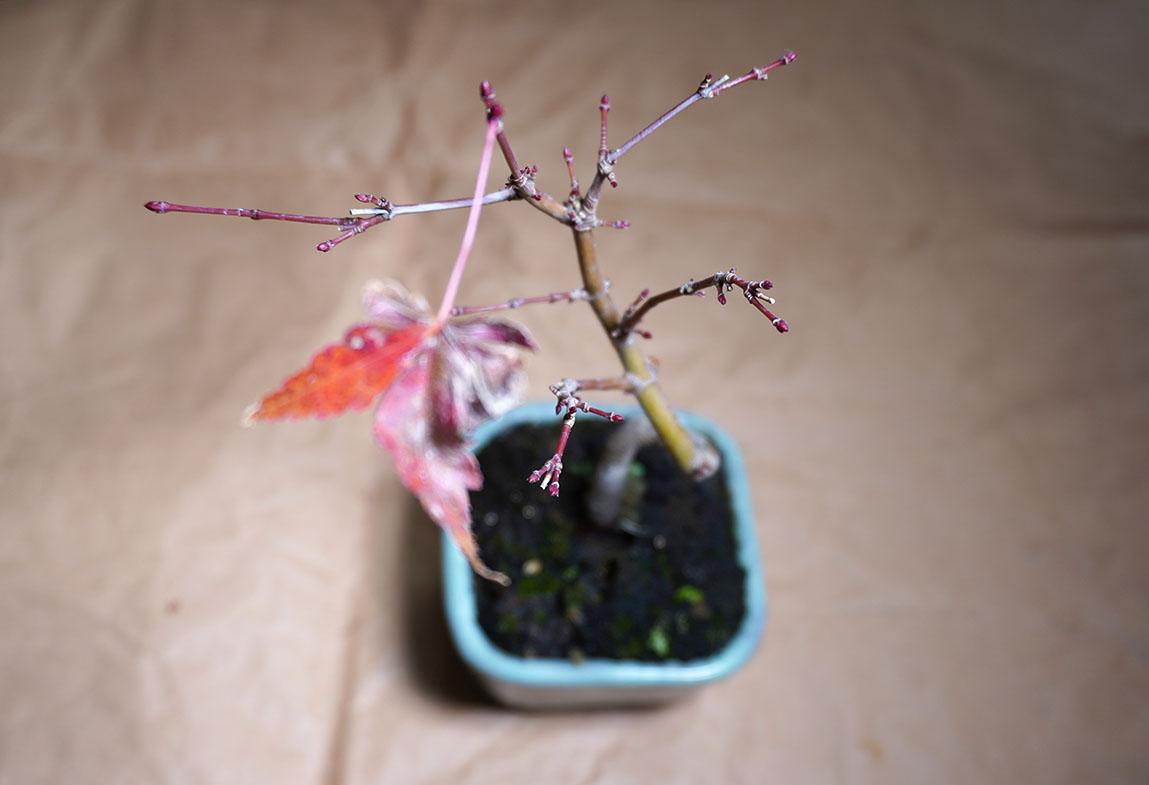 DSC00611-紅葉の芽うえから