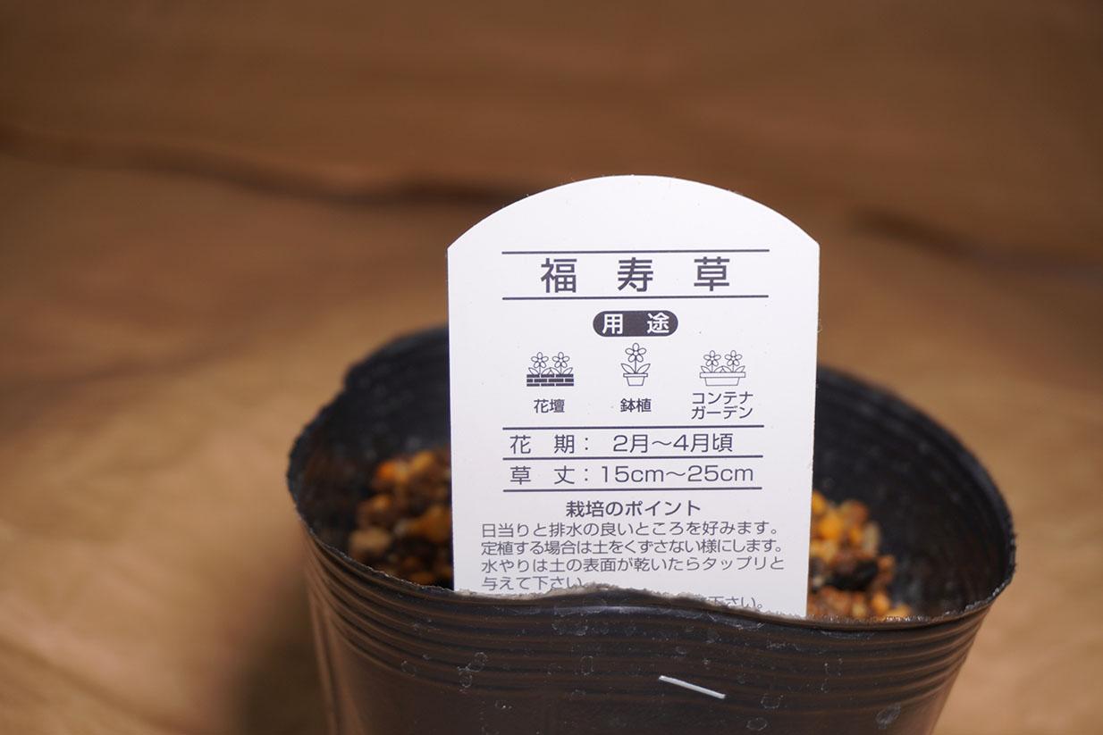 DSC00638-福寿草説明