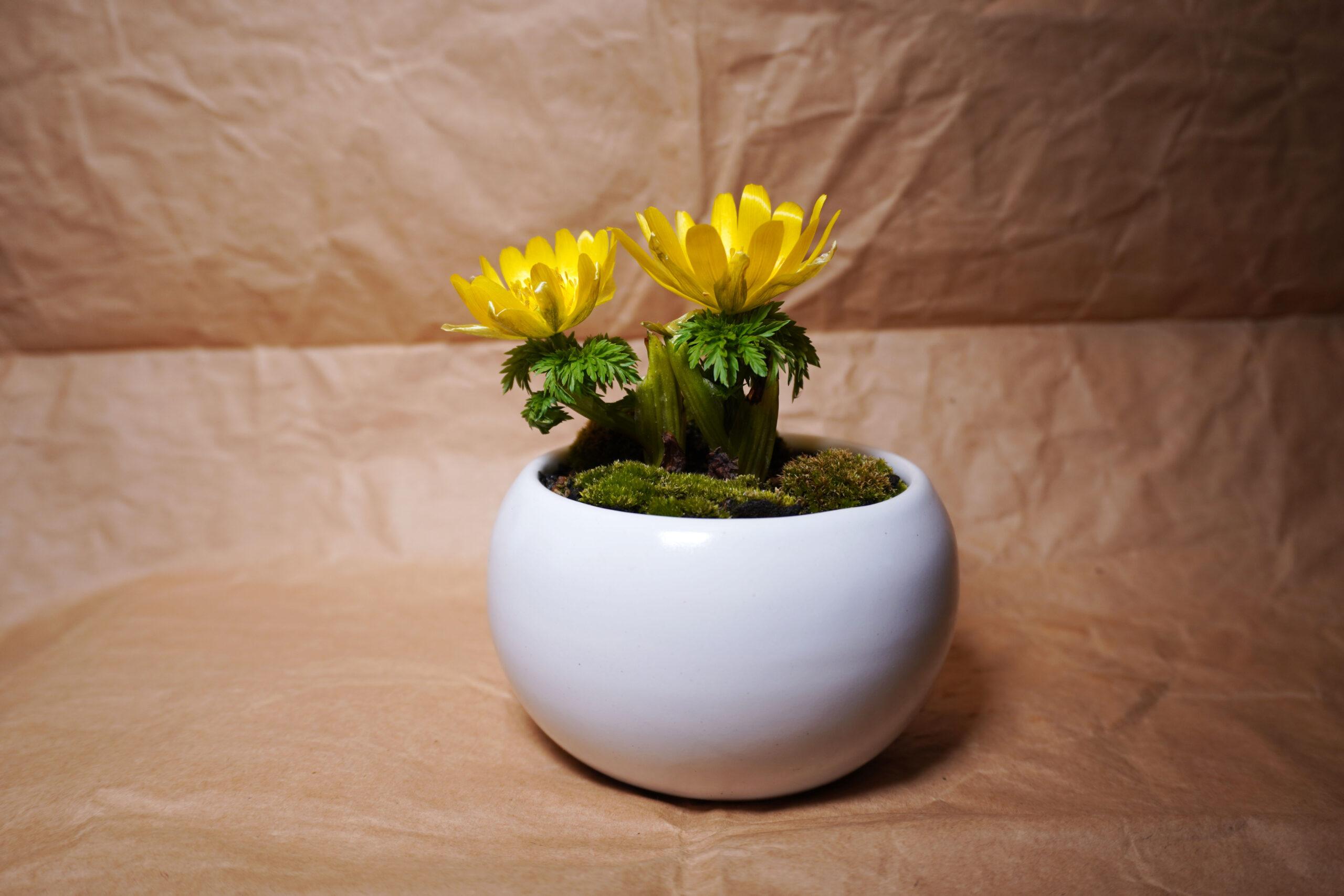 DSC00828-春菊全体