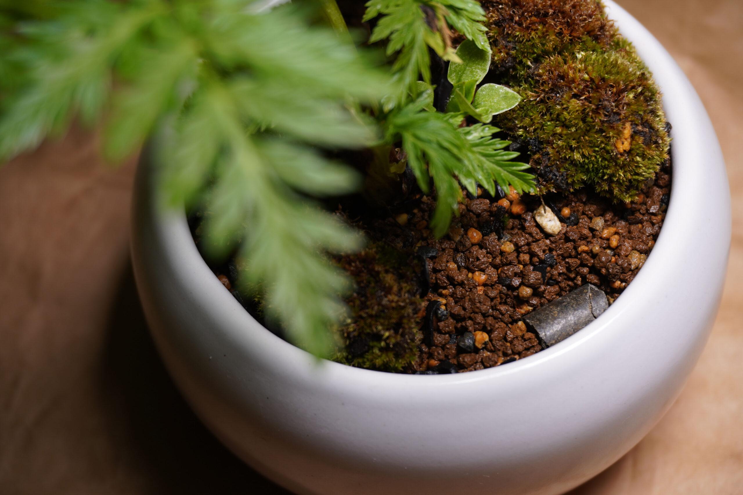 DSC01025-福寿草置き肥