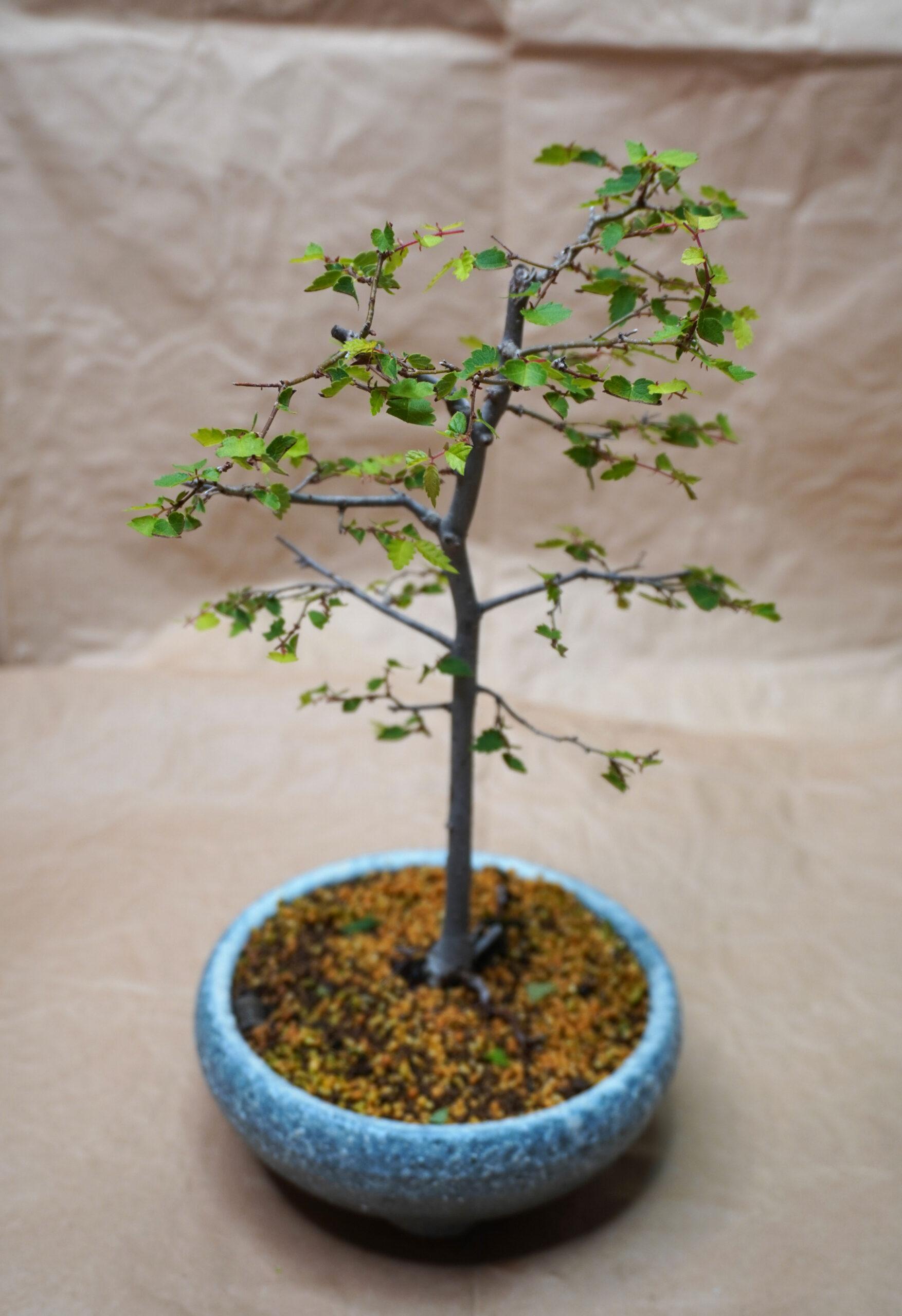 DSC01565-ケヤキ芽摘み後