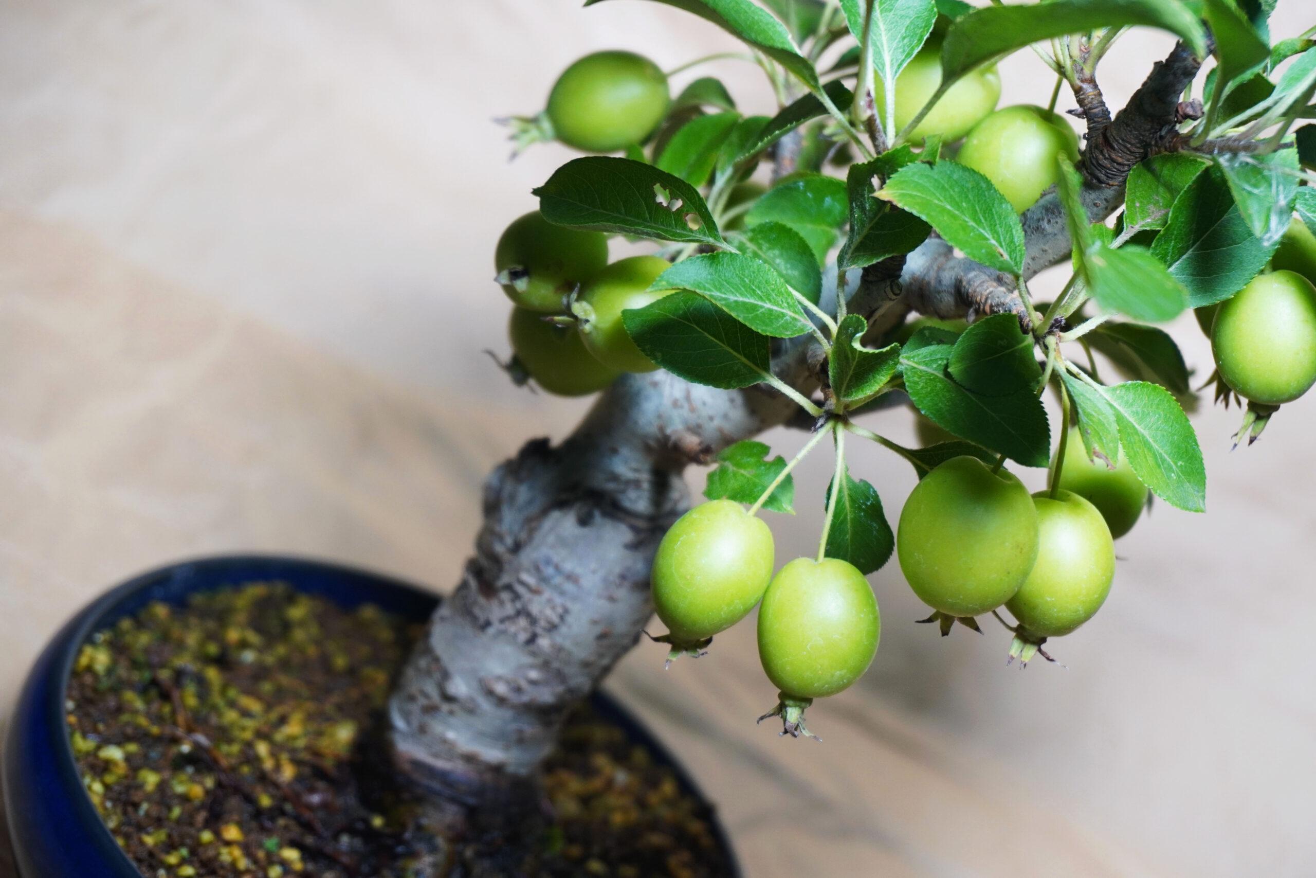 DSC01652-ヒメリンゴの実