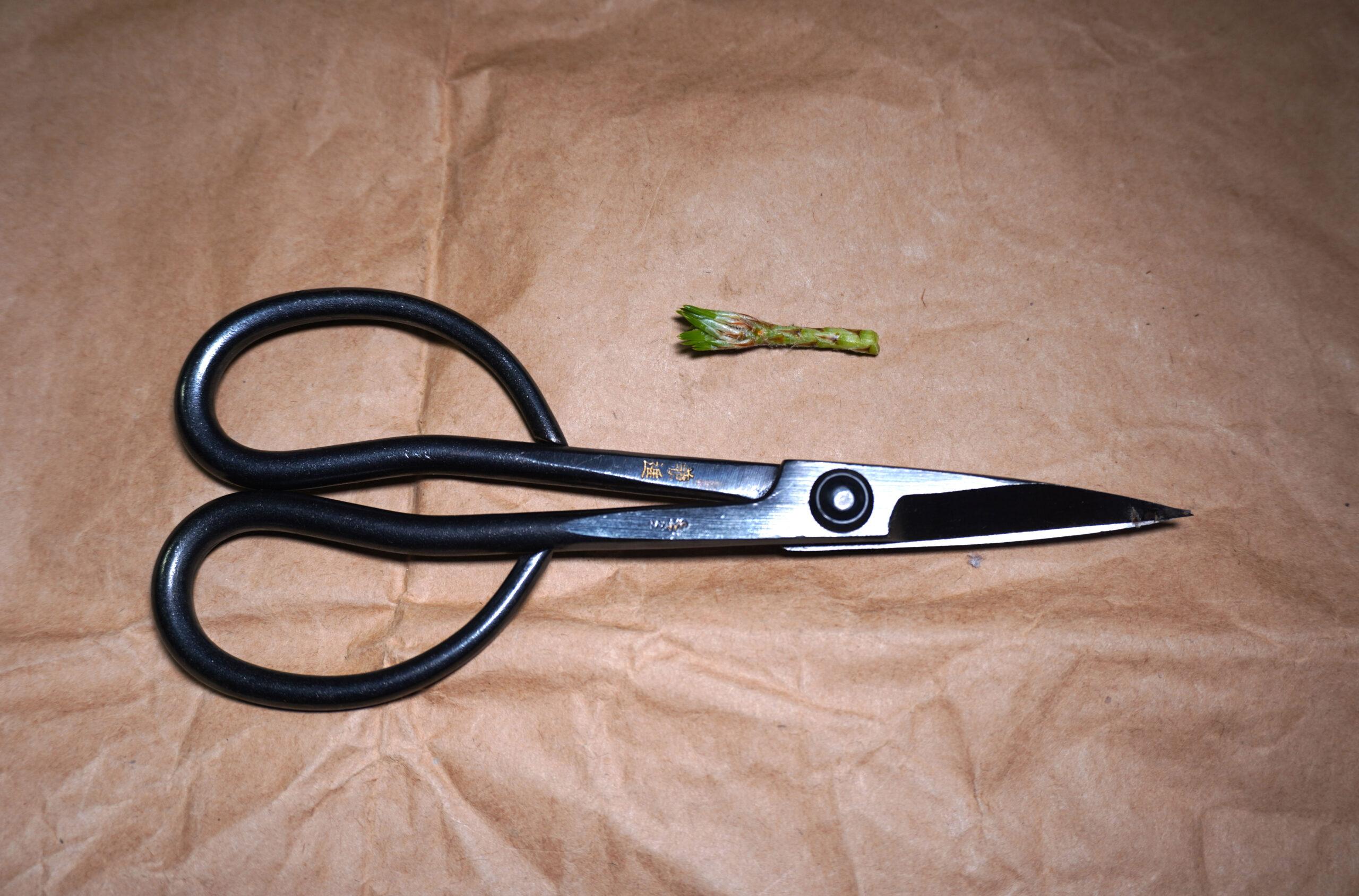 DSC01693-芽とハサミ