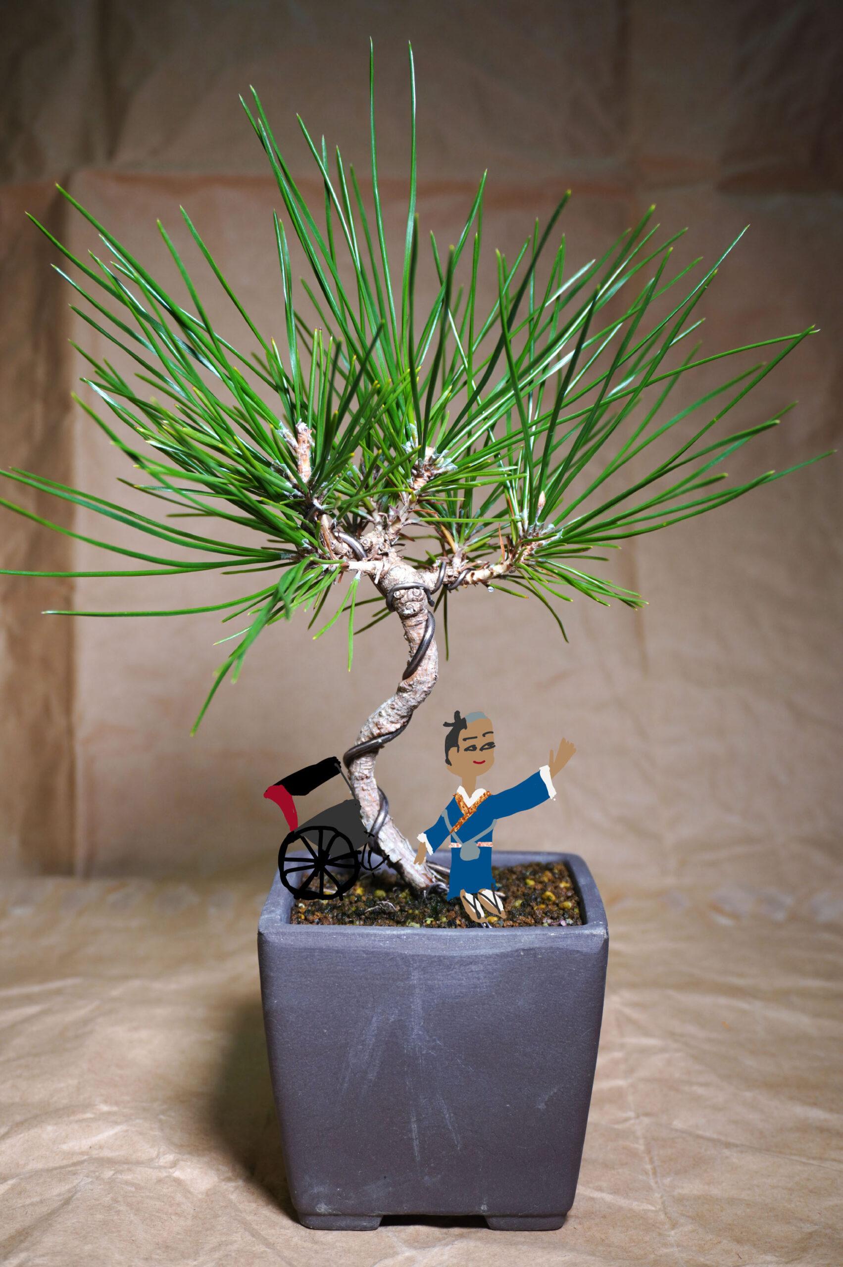 クロマツ-マン盆栽