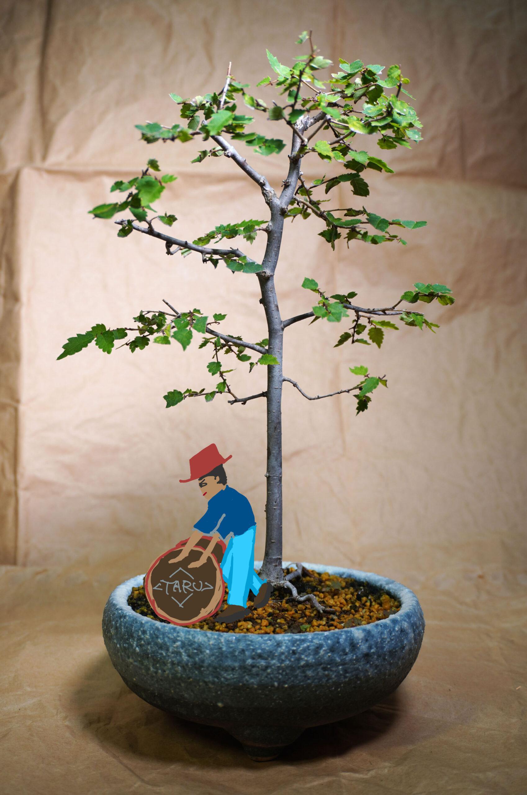 ケヤキ-マン盆栽