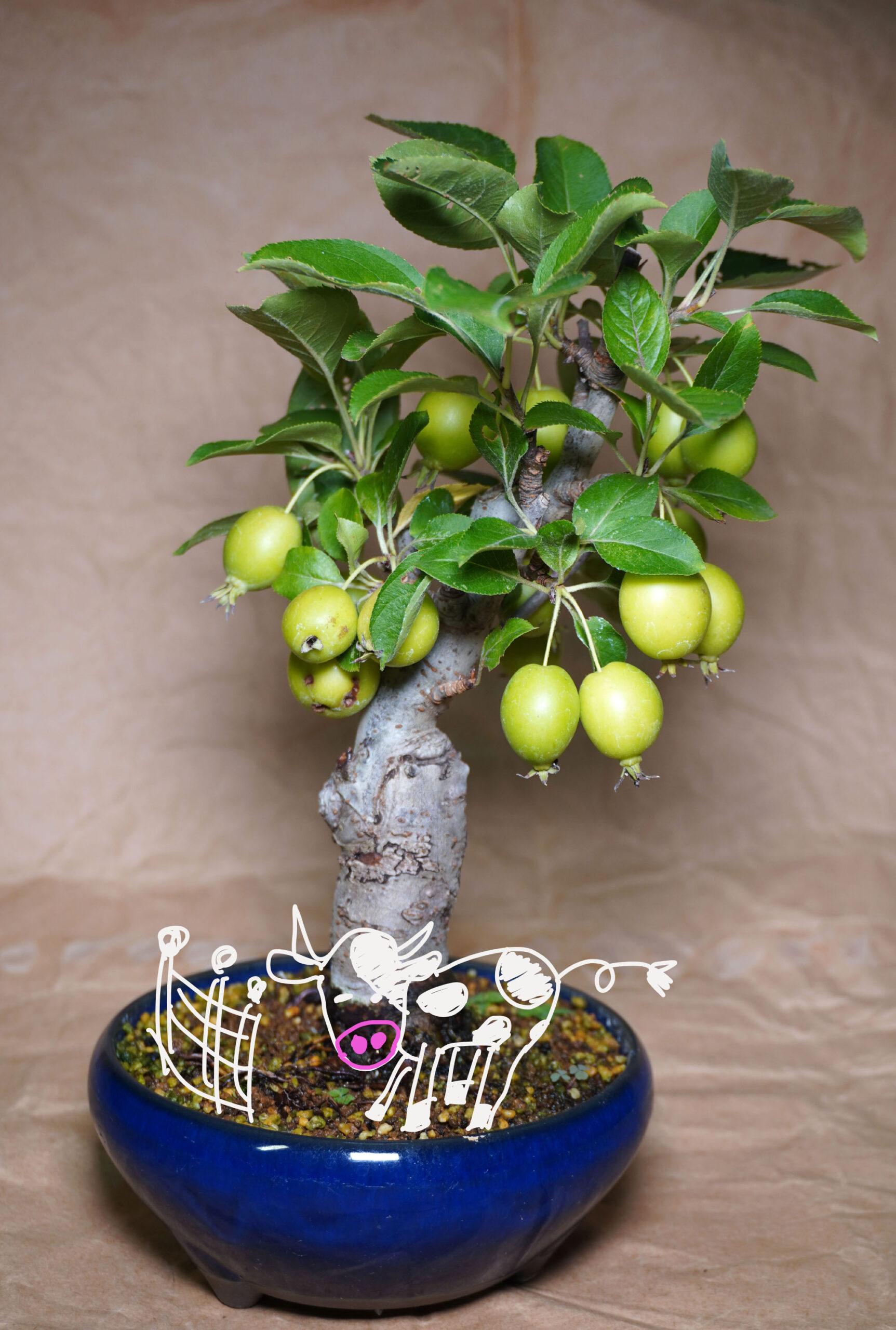 ヒメリンゴ-マン盆栽