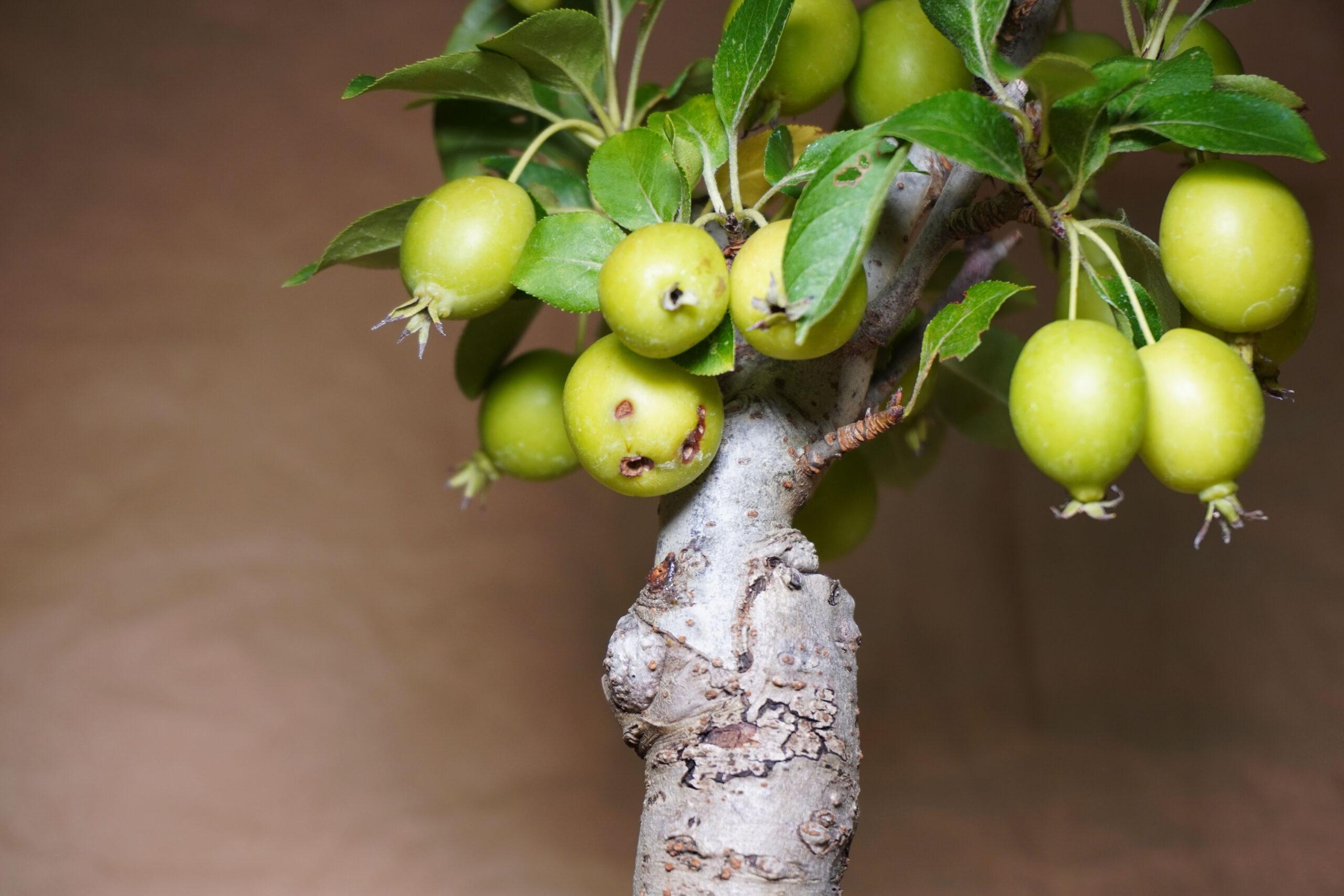 DSC01728-リンゴ虫食い