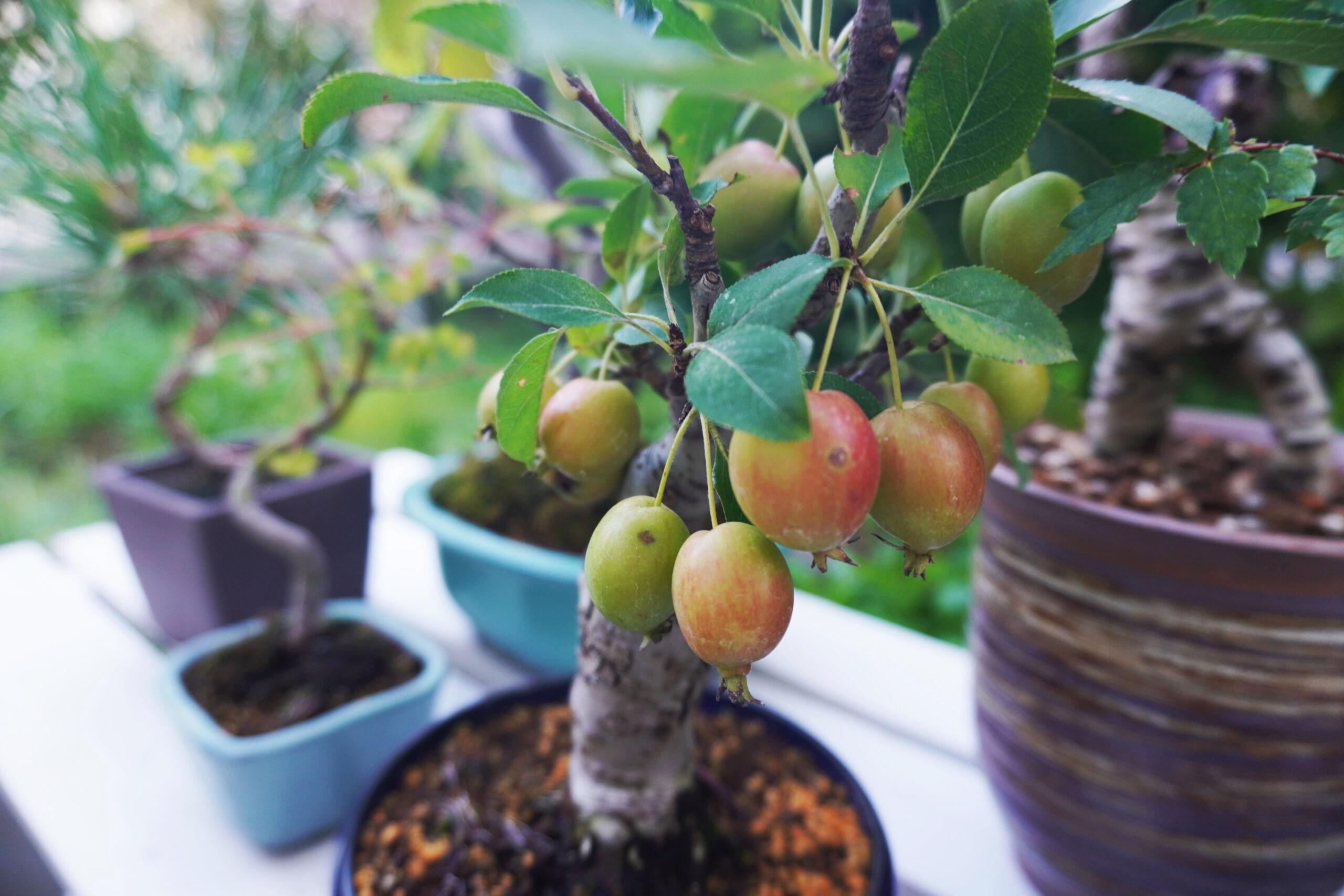 DSC01910-リンゴのズーム